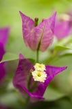 Plan rapproché de fleur de Bouganville Photographie stock