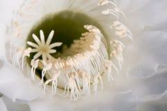 Plan rapproché de fleur de cactus Images stock
