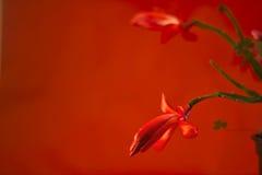 Plan rapproché de fleur de cactus de Noël Photos libres de droits