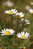 Plan rapproché de fleur de camomille Images libres de droits