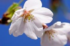 Plan rapproché de fleur de cerise Photographie stock libre de droits
