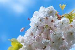 Plan rapproché de fleur de cerise Photo stock