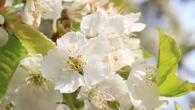 Plan rapproché de fleur de cerisier banque de vidéos