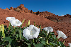 Plan rapproché de fleur de désert au Nevada Image libre de droits