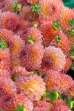 Plan rapproché de fleur de dahlia images libres de droits