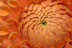 Plan rapproché de fleur de dahlia photo libre de droits