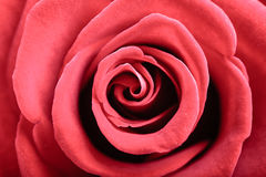 Plan rapproché de fleur de floraison de rose de rouge comme fond Image stock