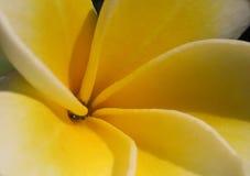 Plan rapproché de fleur de Frangipanier photographie stock libre de droits