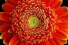 Plan rapproché de fleur de Gerbera Photographie stock libre de droits