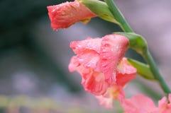 Plan rapproché de fleur de glaïeul Photographie stock libre de droits