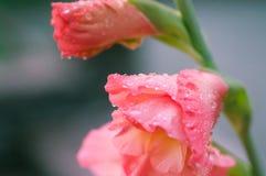 Plan rapproché de fleur de glaïeul Image libre de droits