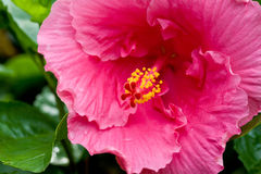 Plan rapproché de fleur de ketmie Image stock