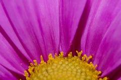 Plan rapproché de fleur de marguerite photo libre de droits