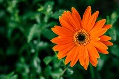 Plan rapproché de fleur de marguerite orange, fond naturel Images stock