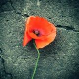 Plan rapproché de fleur de pavot photographie stock libre de droits