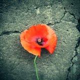 Plan rapproché de fleur de pavot images stock