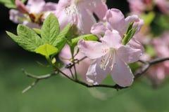 Plan rapproché de fleur de rhododendron Photo stock