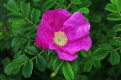 Plan rapproché de fleur de Rosa Rugosa Photo stock