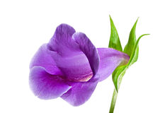 Plan rapproché de fleur, Gloxinia Image libre de droits