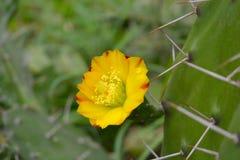 Plan rapproché de fleur jaune de cactus, Uttarakhand, Inde photographie stock