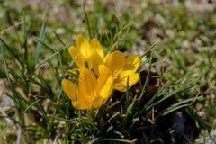 Plan rapproché de fleur jaune de crocus dans l'herbe en premier ressort Photo stock