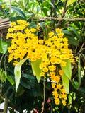 Plan rapproché de fleur jaune de lindleyi de Dendrobium d'espèces colorées d'orchidée dans national Images libres de droits