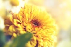 Plan rapproché de fleur jaune et belle avec le fond blured S Photo stock