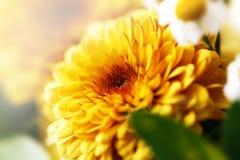 Plan rapproché de fleur jaune et belle avec le fond blured S Photo libre de droits