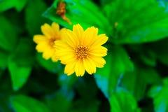 Plan rapproché de fleur jaune (peu étoile jaune) et de backgroun de tache floue Image libre de droits