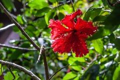 Plan rapproché de fleur de ketmie sur le fond vert photos libres de droits