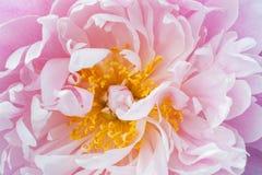 Plan rapproché de fleur de pivoine Image stock