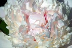 Plan rapproché de fleur de pivoine Pétales sensibles énormes Images libres de droits