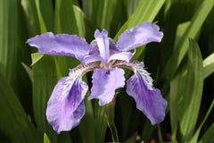 plan rapproché de fleur pourpre avec le fond vert Photographie stock