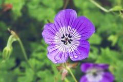 Plan rapproché de fleur pourpre et blanche de géranium avec des gouttes de pluie Photos libres de droits