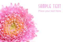 Plan rapproché de fleur rose Image stock