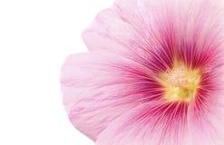 Plan rapproché de fleur rose. Images stock