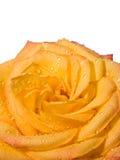 Plan rapproché de fleur rose de jaune avec des gouttelettes Photo stock