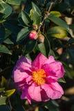 Plan rapproché de fleur rose de sasanqua de camélia Photos libres de droits