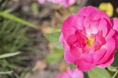 Plan rapproché de fleur de rose de rose, endroit pour l'inscription Photos stock