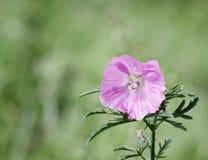 Plan rapproché de fleur rose fraîche sur le fond vert Image libre de droits