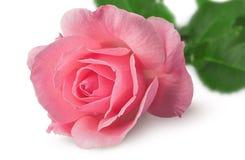 Plan rapproché de fleur rose tourné Images libres de droits