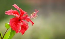 Plan rapproché de fleur rouge de ketmie Rosa ou de Chaba photos stock