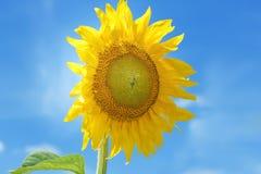 Plan rapproché de fleur de tournesol images libres de droits
