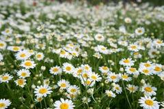 Plan rapproché de fleurs de camomilles de champ Belle scène de nature avec les camomilles médicales de floraison photos stock