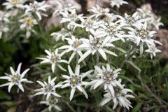 Plan rapproché de fleurs d'edelweiss, fleurs alpines d'edelweiss photographie stock