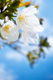 Plan rapproché de fleurs de cerise de source, fleur blanche Photo libre de droits
