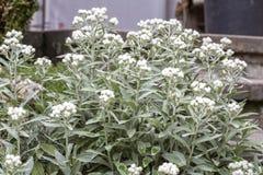Plan rapproché de fleurs de triplinervis d'Anaphalis Photos stock