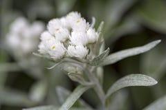 Plan rapproché de fleurs de triplinervis d'Anaphalis Photo stock