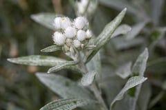 Plan rapproché de fleurs de triplinervis d'Anaphalis Photographie stock libre de droits