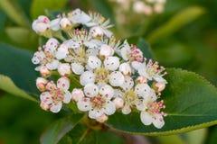 Plan rapproché de fleurs et de feuilles de melanocarpa d'Aronia Photos stock